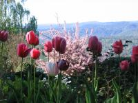 tulips with the Middle Yuba gorge in the background