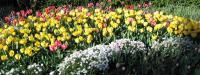 more joyful tulips
