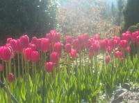pink-tulips-bathed-in-ethereal-sunlight.jpg