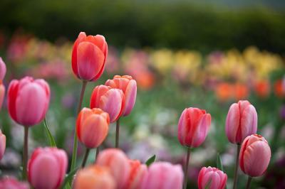 tulips-4-10-15-of-15.jpg