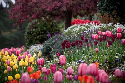 tulips-4-10-8-of-15.jpg