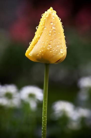 tulips-4-10ab-9-of-9.jpg