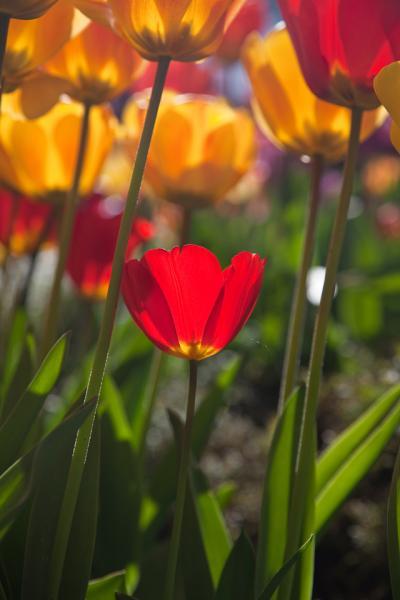tulips0041.jpg