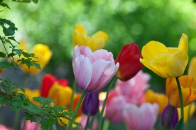 tulips009.jpg