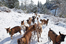 goats-in-snow_web