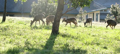 Deer grazing above office buildings
