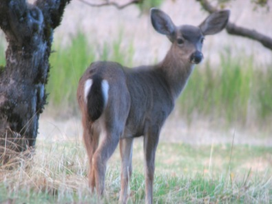 Young deer in the orchard